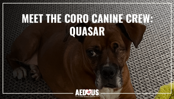 Quasar, the brown boxer, laying on the carpet with toy looking at camera.