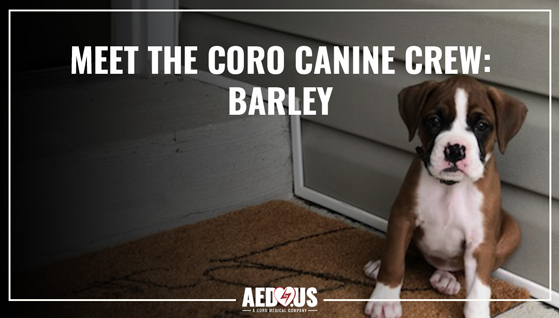 Barley, a boxer puppy, sitting on a front stoop looking at the camera.